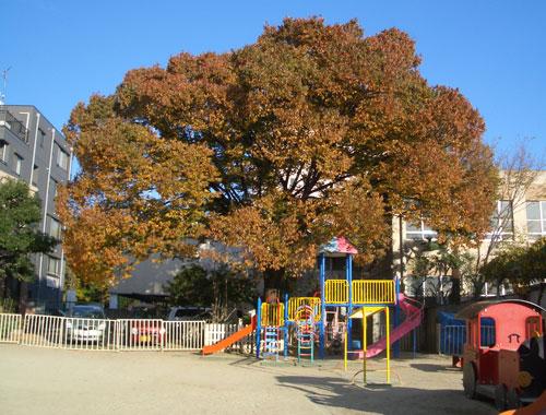 白鳥幼稚園の秋のけやき