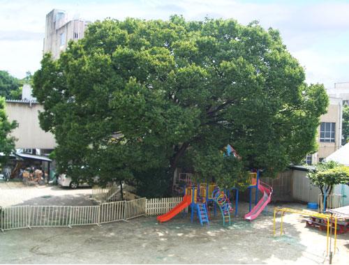 白鳥幼稚園の夏のけやき